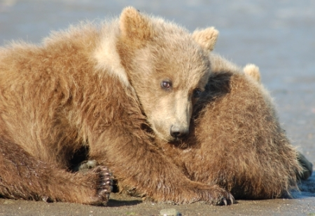 brown bear cubs in Homer Alaska