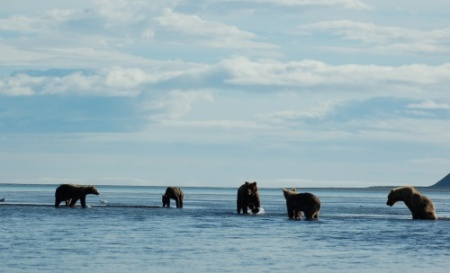 Congregation of grizzly bears in Katmai National Park