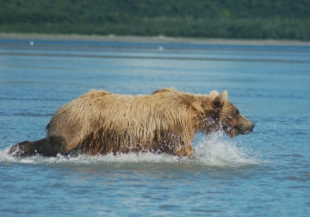 grizzly bear salmon fishing in Katmai National Park, Hallo Bay
