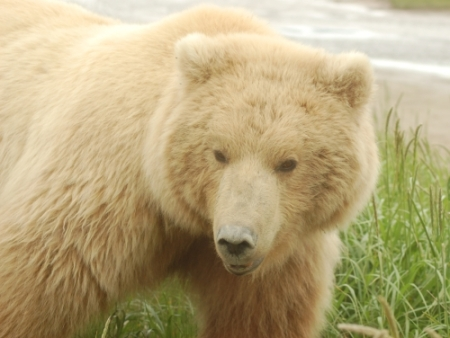 blonde grizzly bear photo